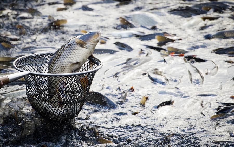 October 12, 2017 - Prague, Czech Republic - Fishermen of Prague fish out the Pocernicky pond in Prague, Czech Republic, on Thursday, October 12, 2017. (Credit Image: © Katerina Sulova/CTK via ZUMA Press)