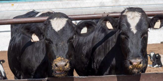 Президент Узбекистана поручил разводить лосося и осетра и дать семьям в кредит 5 породистых коров